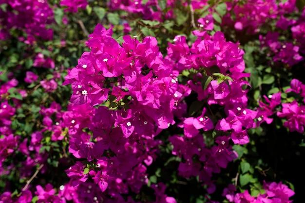 Różowy kwiat bougainvillea