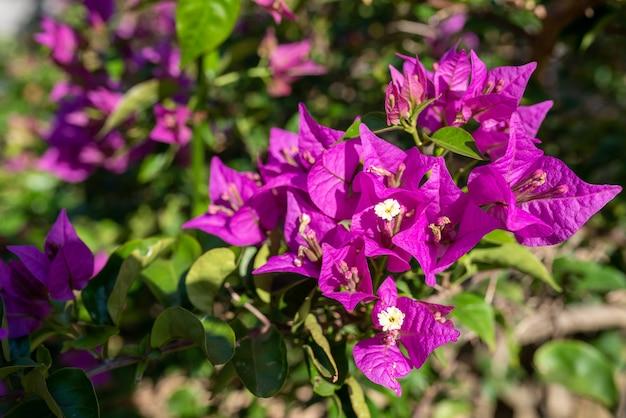 Różowy kwiat bugenwilli w przyrodzie