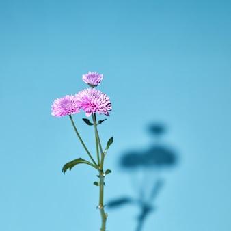 Różowy kwiat chryzantemy w rozkwicie z zielonymi liśćmi na niebieskim tle z miękkimi cieniami i miękką ostrością.