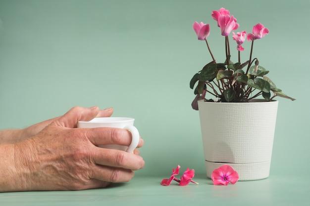 Różowy kwiat cyklamen w doniczce white