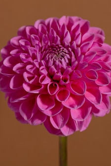 Różowy kwiat dalii na brązowym tle piękna ozdobna kwitnąca roślina ogrodowa ze ścieżką przycinającą