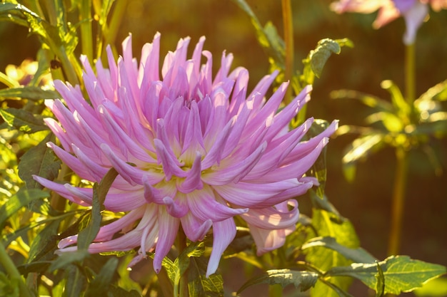 Różowy kwiat dalii na krzaku w zachodzącym słońcu, zbliżenie