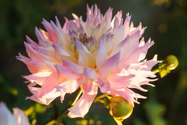 Różowy kwiat dalii na krzaku, zbliżenie