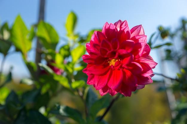 Różowy kwiat dalii z zielonymi liśćmi na tle błękitnego nieba w parku
