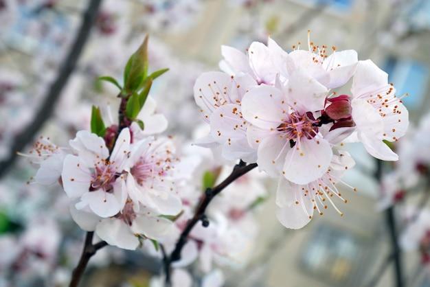 Różowy kwiat drzewa makro