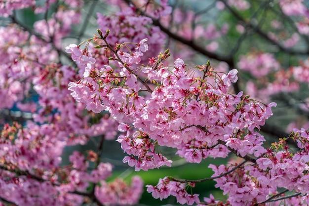 Różowy kwiat, drzewo wiśniowe kwiaty wiosną.