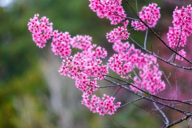 Różowy kwiat, dzikie kwitnienie wiśni himalajskiej (prunus cerasoides)