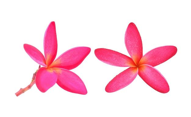 Różowy kwiat frangipani na białym tle.