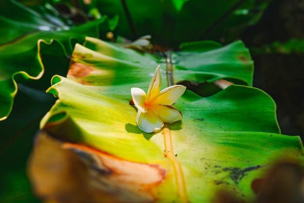 Różowy kwiat frangipani