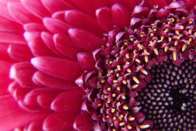 Różowy kwiat gerbera z kroplami wody -