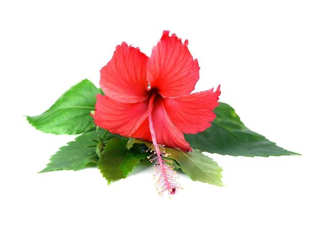 Różowy kwiat hibiskusa na białym tle