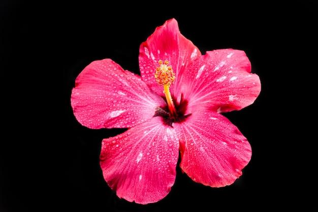 Różowy kwiat hibiskusa na czarnej powierzchni.