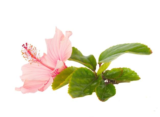 Różowy kwiat hibiskusa z liśćmi na białym tle