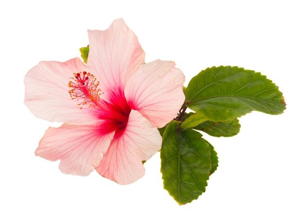 Różowy kwiat hibiskusa z zielonymi liśćmi na białym tle