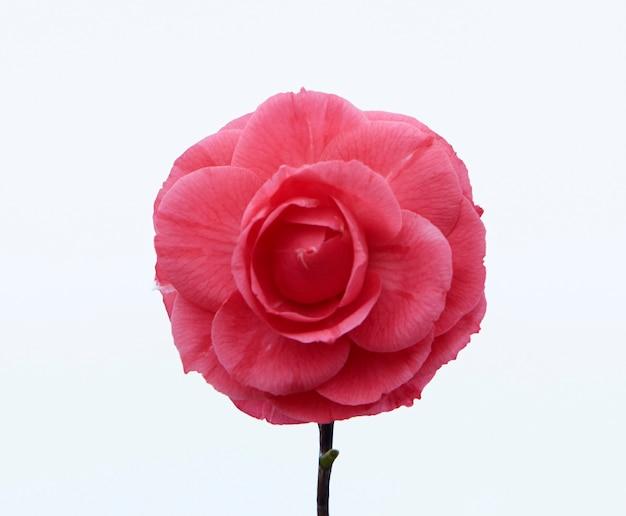 Różowy kwiat kamelii. odosobniony. białe tło
