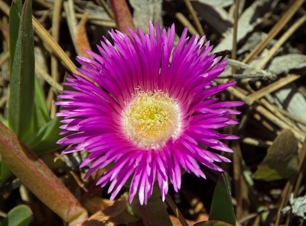 Różowy kwiat karkalla