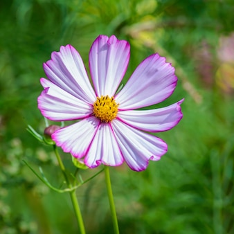 Różowy kwiat kosmos wersal na zamazanym zielonym tle w letnim ogrodzie zbliżenie