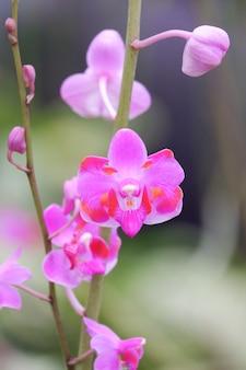 Różowy kwiat kwiat orchidei dorotis bliska