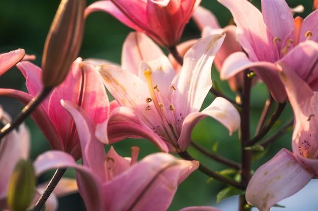 Różowy kwiat lilii w ogrodzie. zbliżenie kwiat lilii.