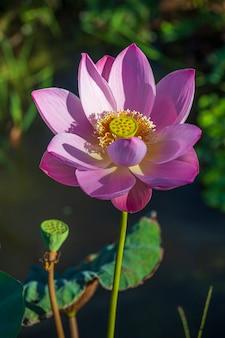 Różowy kwiat lilii wodnej. kwiat lotosu na wyspie bali, indonezja. zbliżenie, makro