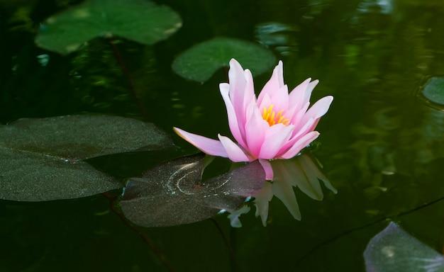 Różowy kwiat lilii wodnej nymphaea lotos. roślina wodna.