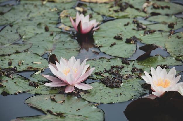Różowy kwiat lilii wodnych w okresie letnim