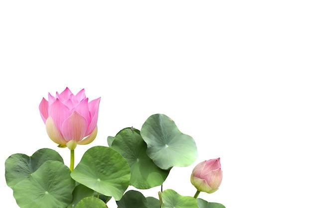 Różowy kwiat lotosu i zielone liście na białym tle ze ścieżką przycinającą.