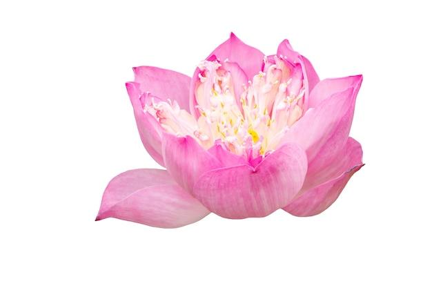 Różowy kwiat lotosu na białym tle