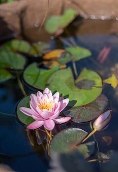 Różowy kwiat lotosu na jeziorze