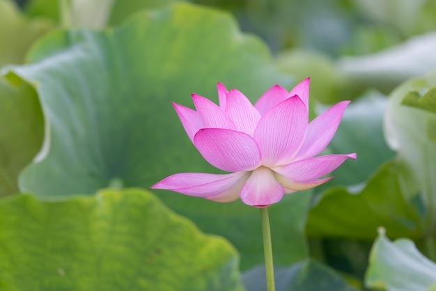 Różowy kwiat lotosu na zielonym tle liści lotosu