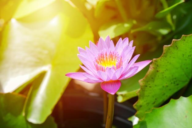 Różowy kwiat lotosu otwarty na stawie z żółtym środkiem i zielonym liściem wokół.
