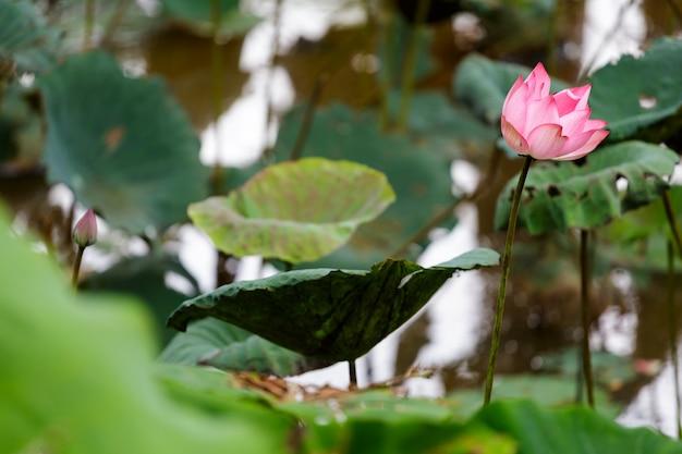 Różowy kwiat lotosu w rzece