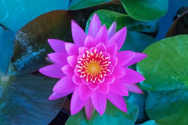 Różowy kwiat lotosu w stawie.