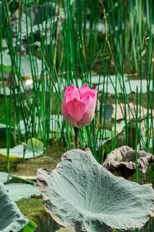 Różowy kwiat lotosu w trawie