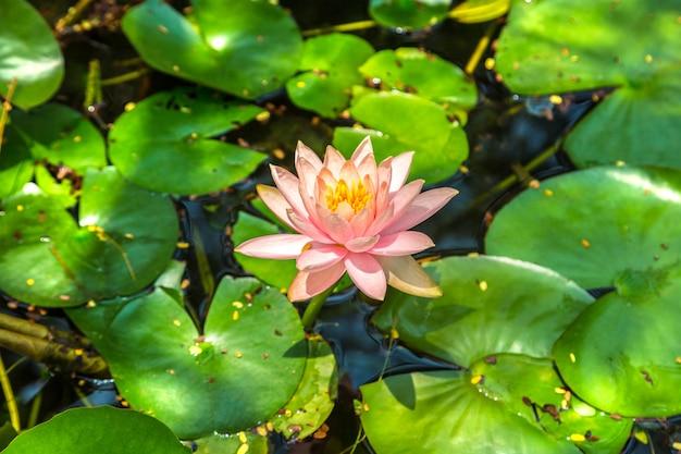 Różowy kwiat lotosu zbliżenie w tajlandii