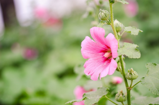Różowy kwiat malwy rośnie w ogrodzie.