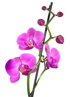Różowy kwiat orchidei na białym tle