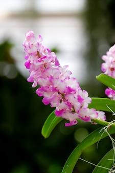 Różowy kwiat orchidei (rhynchostylis coelestis)
