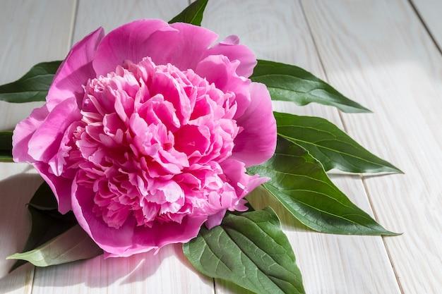 Różowy kwiat piwonii z liśćmi