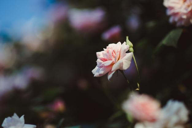Różowy kwiat płatków