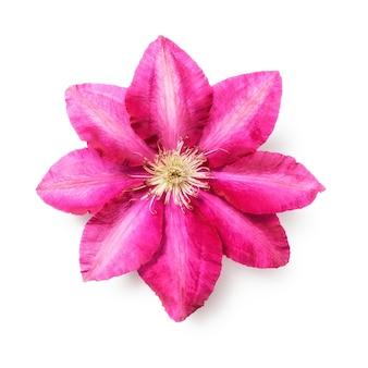 Różowy kwiat powojnika. uwzględniono pojedynczy obiekt na białym tle ścieżki przycinającej. letnie kwiaty ogrodowe. widok z góry na płasko