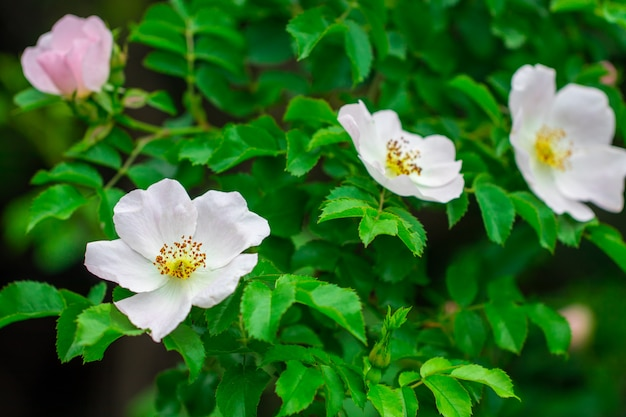 Różowy kwiat róży na krzaku.