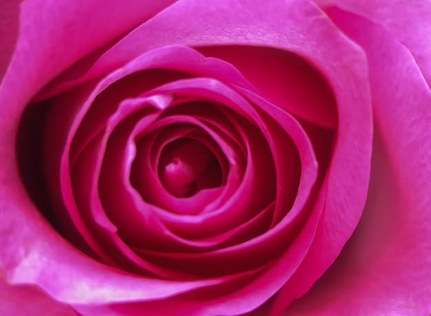 Różowy kwiat róży, szczegóły makro, płatki kwiatów