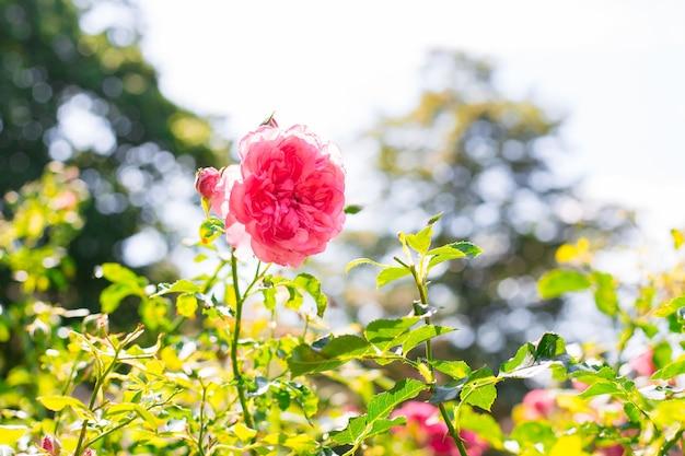 Różowy kwiat róży w ogrodzie róż. nieostrość. kwiat dzikiej róży.