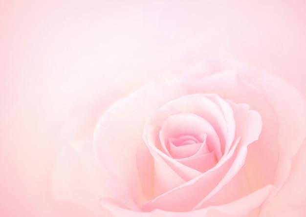 Różowy kwiat róży