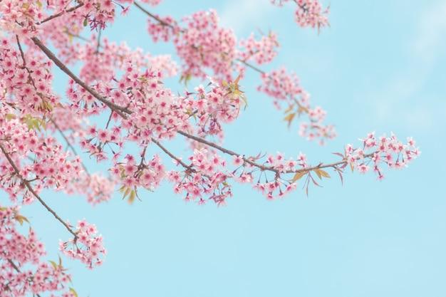 Różowy kwiat sakura, kwiat wiśni, himalajski kwiat wiśni