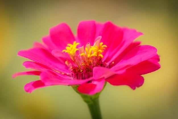 Różowy kwiat tła