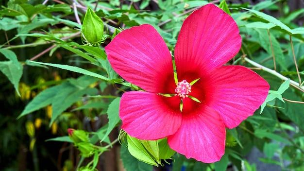 Różowy kwiat w parku miasta soczi. rosja