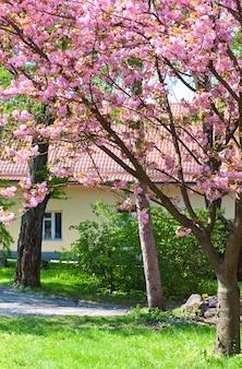 Różowy kwiat wiśni japońskiej (miasto użgorod, ukraina)