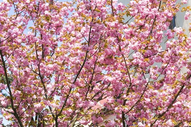 Różowy kwiat wiśni japońskiej (tło natury)